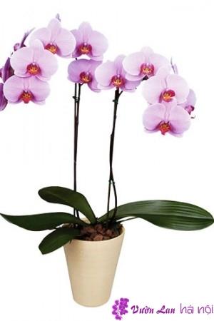 hoa lan bán tết