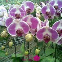 cách giữ hoa lan hồ điệp lâu tàn