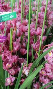 Chậu hoa địa lan Sato Tết hồng