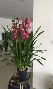 Chậu hoa địa lan Sato màu hồng thắm