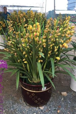 Chậu hoa Địa Lan Tết - Lạc Trôi