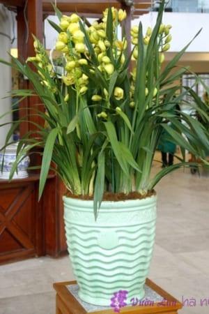 Chậu Hoa Địa Lan màu xanh ngọc mới đẹp