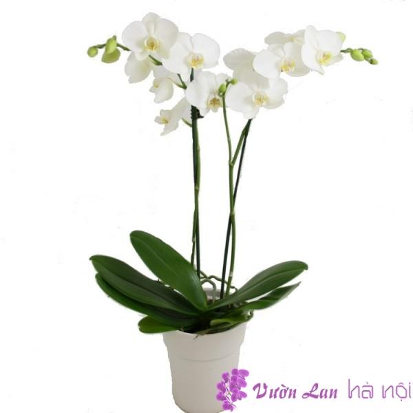 hoa lan bán tết 2017