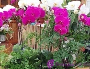 hoa lan chơi têt