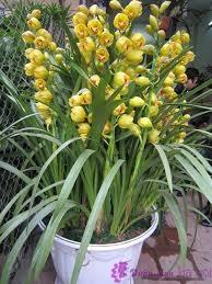 hoa lan chưng tết