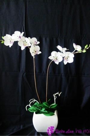 hoa lan hồ điệp bị vàng lá
