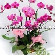 hoa lan hồ điệp hồng
