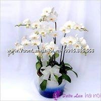 hoa lan hồ điệp mini