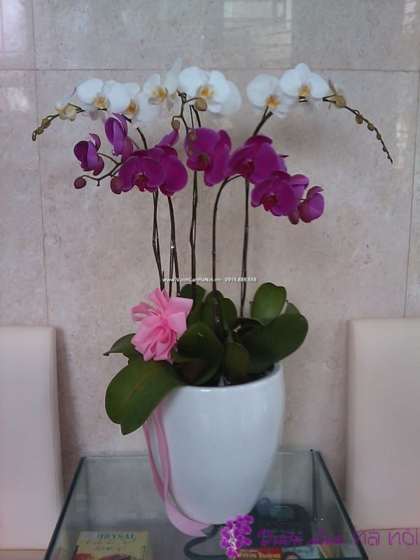 hoa lan hồ điệp tím