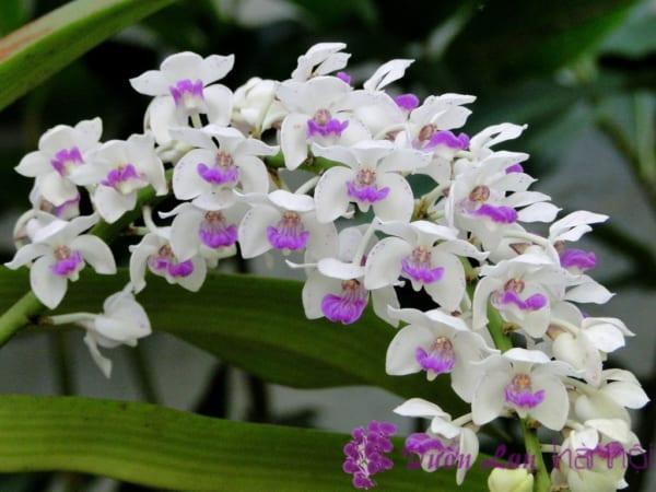 hoa lan ngày tết
