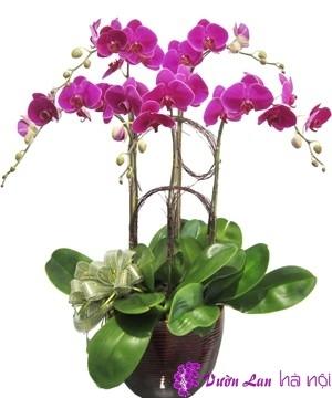 hoa lan tết