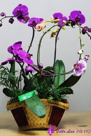 lan hồ điệp bao lâu ra hoa