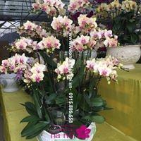 ý nghĩa màu hoa lan hồ điệp ấn tượng4