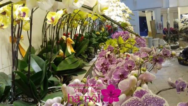 Giá hoa địa lan tết