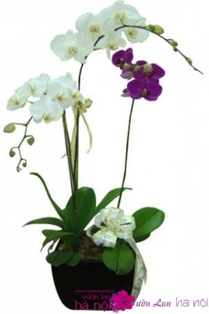 bán hoa lan hồ điệp tết (3)