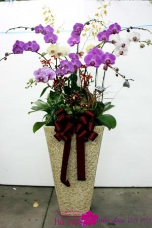 bán hoa lan hồ điệp tết (5)