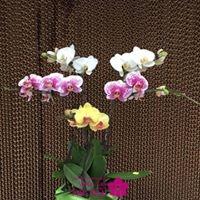 cách bó hoa lan hồ điệp3