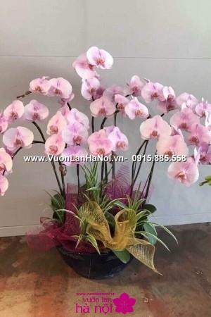 cách trồng lại hoa lan hồ điệp sau tết