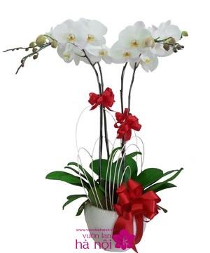 cắm hoa lan hồ điệp