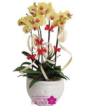 chăm sóc lan hồ điệp ra hoa đúng tết