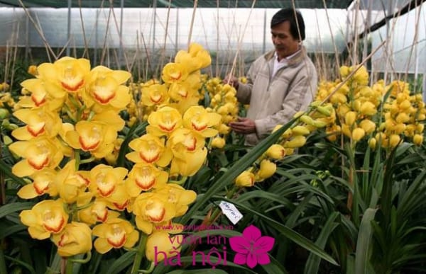 hoa địa lan ngày tết