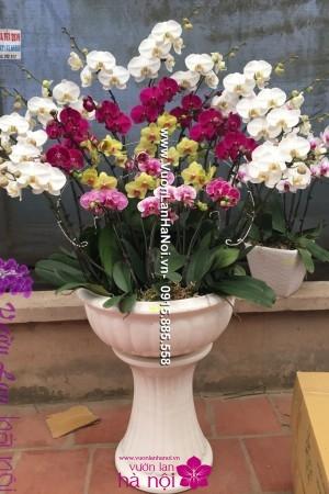hoa lan biếu tết
