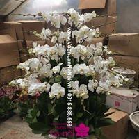 hoa lan hồ điệp giống5