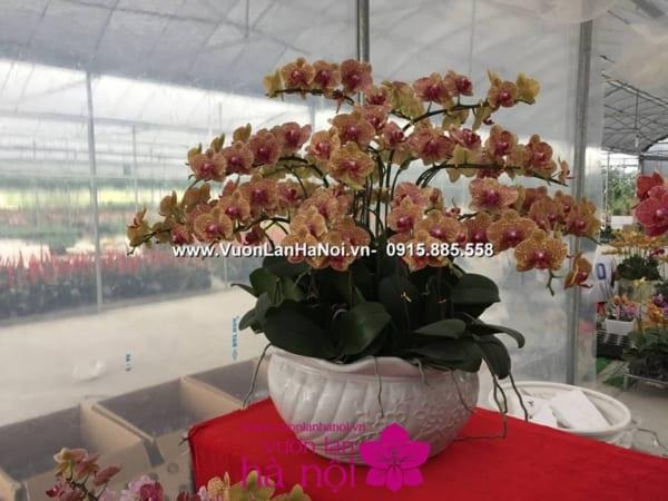 hoa lan hồ điệp ra hoa đúng tết