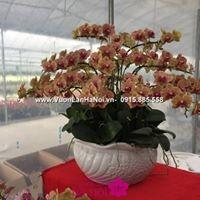 hoa lan hồ điệp trung quốc giá rẻ5