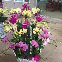 hoa lan hồ điệp trung quốc giá rẻ7
