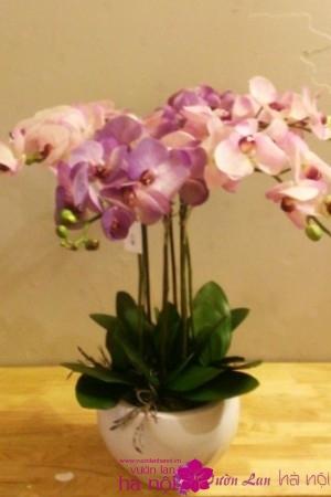 hoa phong lan hồ điệp (7)