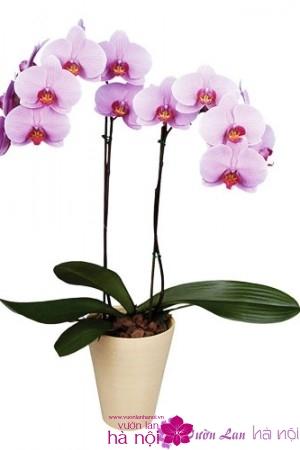 lan hồ điệp phalaenopsis (2)