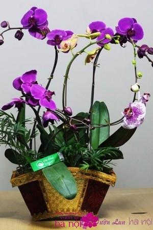 lan hồ điệp phalaenopsis (3)