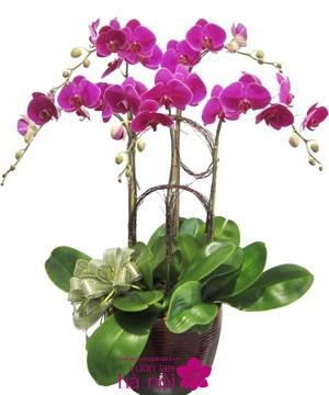 lan hồ điệp phalaenopsis (6)
