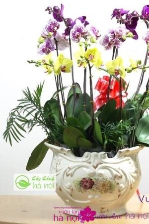 lan hồ điệp phalaenopsis (7)