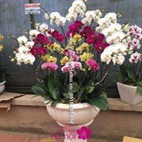 lan hồ điệp ra hoa đúng dịp tết1