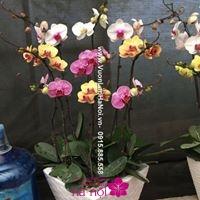 lan hồ điệp ra hoa đúng dịp tết2