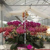 lan hồ điệp ra hoa đúng dịp tết4