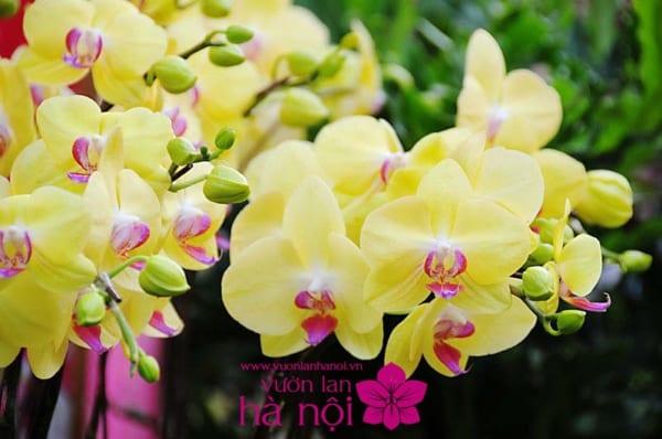 hoa lan hồ điệp ra hoa đúng tết1