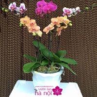 mẫu hoa lan hồ điệp1