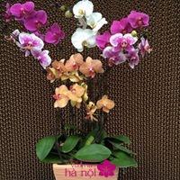 mẫu hoa lan hồ điệp2