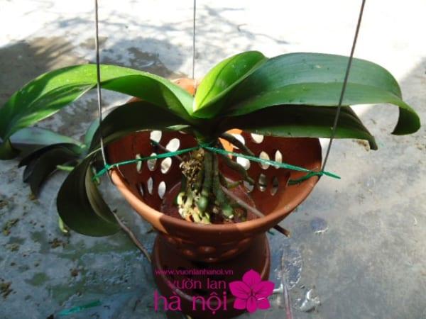 trồng hoa lan sau tết1