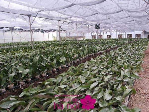 trồng lan hồ điệp bằng xơ dừa
