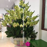 giá bán hoa lan hồ điệp tết 20171