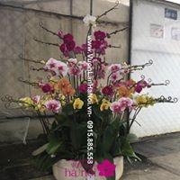 giá bán hoa lan hồ điệp tết 20172