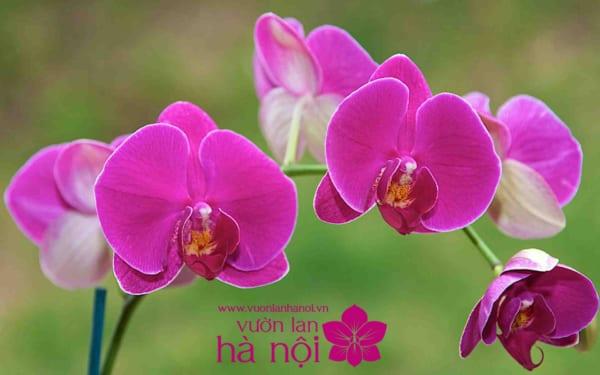 hình nền hoa lan hồ điệp 2