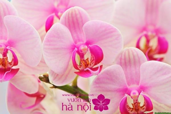 hình nền hoa lan hồ điệp 3