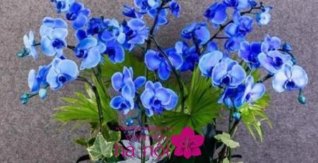 hoa lan hồ điệp giả 2