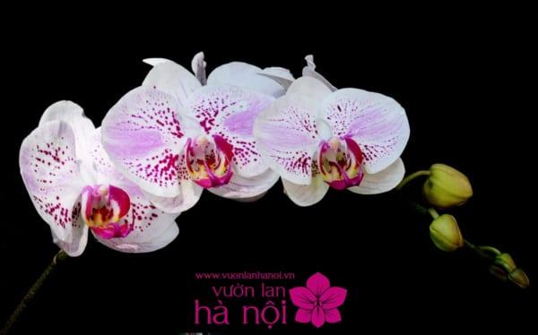hoa lan nở tết2