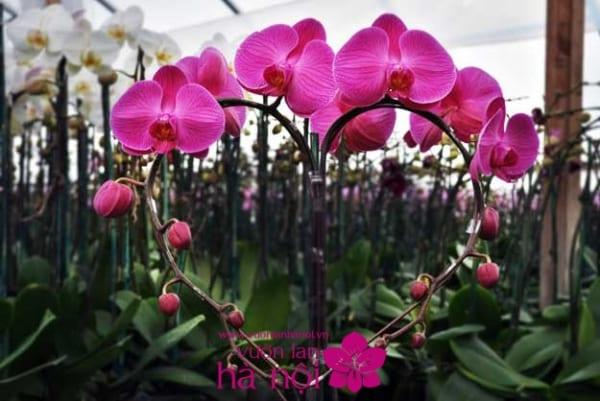 lan hồ điệp màu hồng (3)